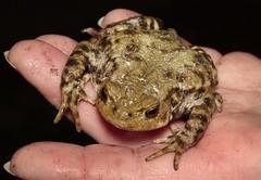 toad_patrol_1320703 (jswildlife) Tags: jswildlife lumixgx8 olympusmacrolens60mmf28 meikemk320 abingdon oxfordshire uk toad amphibian bufobufo toadpatrol