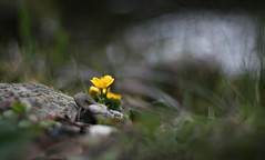Evening at the pond (Magreen2) Tags: marhmarigold flower plant bokeh oldlenshelios40 mood spring frühling stimmung teich sumpfdotterblume pflanze