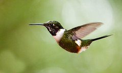 0P7A1810  Purple-throated Woodstar_hummingbird (ashahmtl) Tags: purplethroatedwoodstar bird hummingbird calliphloxmitchellii sachatamialodge pichinchaprovince ecuador