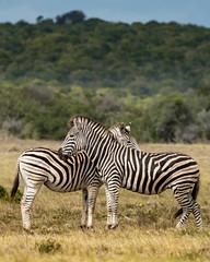 DSC08901 (Paddy-NX) Tags: 2019 20190109 addoelephantnationalpark africa sony sonya77ii sonyalpha sonyalphaa77ii sonysal70300g southafrica wildlife zebra