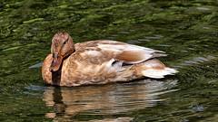 Mallard Duck resting on Lake. 40D-3264 (Albert Hurwood) Tags: corbyboatinglake mallardducks hdr aigigapixel topazlabs easyhdr3 jpegtoraw nature water alberthurwood canon 40dcanon 70300mm l is lens canon40d canon70300mmlisusmlens