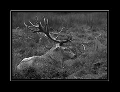 CERF 'ARAN¨¨ (thierrymuller) Tags: art animal animals elpadrepicture thierrymuller photo photographie pyrénées d610nikon frenchtouch mamanano nikonpassion nikon nature noiretblanc bw blackwhite monochrome montagne aran cerf stag