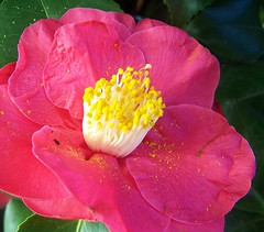 Camelia For Jan (ERIK THE CAT Struggling to keep up) Tags: flowers town stafford camelia ngc doublefantasy