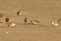 Snow buntings on the beach (hedgehoggarden1) Tags: snowbunting birds wildlife nature creature animals sonycybershot norfolk holkham beach eastanglia uk sand bird feeding