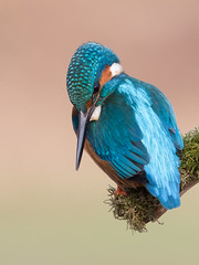 Common Kingfisher (Alcedo atthis) (www.mikebarthphotography.com 2M Views thanks !) Tags: alcedoatthis commonkingfisher