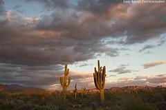 Entrance to the Desert (Eric Binns Photography) Tags: desert sonorandesert arizona southwest outside outdoors sky clouds sunset cactus saguaro goldenhour mountain fourpeaks landscape