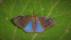 Eurybia caerulescens (kirstenmatthiesen) Tags: broncini caranavi bolivia butterfly mariposa