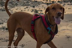 Almos full body (sophieoliviaphotography) Tags: blue sunset warm sunrise sun moon beach orange red waves sea ocean coast golden groyne pebbles dog landscape