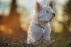 Pippa on the sunny side of life (VintageLensLover) Tags: terrier westhighlandterrier westie pippa hund haustiere natur outdoor dof schärfentiefe schärfeverlauf sonne sonnenuntergang