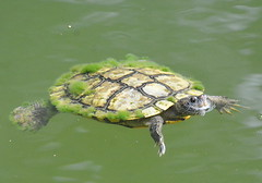 TURTLE (concep1941) Tags: reptils turtlefamily ponds rivres