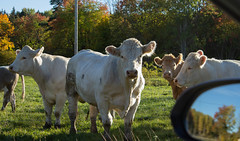 Curious cows beside the road (Yvonne L Sweden) Tags: autumn sweden livestock rearviewmirror kor cow nature
