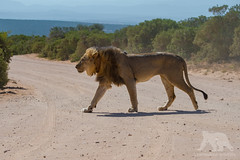 Lion crossing (fascinationwildlife) Tags: animal mammal wild wildlife na nature park addo elephant lion africa afrika african südafrika southafrica eastern cape road crossing male predator löwe big cat