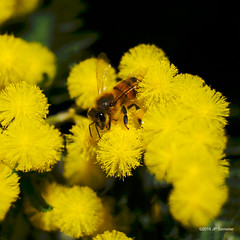 le printemps sent bon (jpto_55) Tags: fleur proxi abeille insecte mimosa bokeh fuji fujifilm fujixf55200mmf3548rlmois hautegaronne france