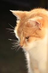 IMG_3704 (christineNZ2017) Tags: auckland newzealand furbaby furbabies cats cat feline gato animal mammal neko kattekop katt fur kitty katze katzen chat gatto kissa kot pisica moggy meow purr trooper 2019 gingerandwhite ginger red auburn sunlight morningsun