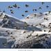 Black-winged Snowfinch