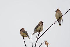 cedar waxwings - explored 3-9-2019 (Brian Eagar Nature Photography) Tags: bird waxwing cedarwaxwing wild wildlife nature animal outdoor outside utah yard nikon d500 60600 sigma60600