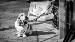 pooChie.jpg (christophersears94) Tags: toronto urban roncesvalles roncesvillage street olympus75f18 dog ontario canada olympusem12 ronnyvillage ronceydog canine