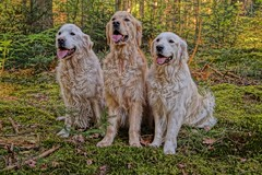 Max, Jasper and Mike (dirk.mateboer) Tags: hdr golden retriever forest bos groen green hondern dogs nederland netherlands vrienden friends natuur nature