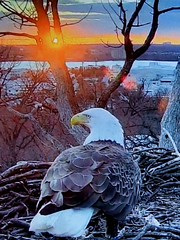 Liberty - SCREENSHOT - 3-5-2019 (3) (THE Halloween Queen) Tags: eagles eagle wildlife bald baldeagles nationssymbol patriotic