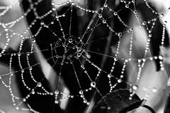 Perles de rosée (Domikawa4) Tags: spider web feuille blackandwhite blackwhite noirblanc toile canon eos 80d tamron 90mm