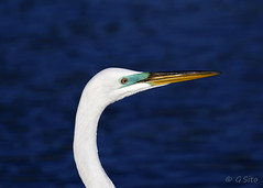 Great White Egret Portrait (Swift Wings) Tags: egret greatwhiteegret bird waterfowl wader nature wildlife outdoor ardeaalba