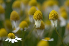 Chamomile (Cilia8) Tags: chamomile macro flower bokeh springtime yellow