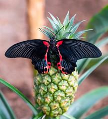 PapilioMemnonAgenor2 (Borreltje.com) Tags: kleincostarica costarica tropical tropics someren nature wildlife nikon animalphotography