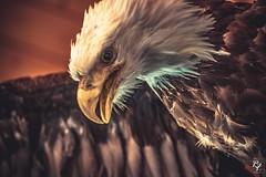 Bald Eagle (robfaubertphotography) Tags: blueheronnaturereserve art cute sky canada eagle wildlife birds bird baldeagle