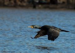 Double-crested Cormorint in flight. (Estrada77) Tags: doublecrestedcormorant cormorants inflight duck divingducks wildlife outdoors nikon nikond500200500mm nature mar2019 winter2019 water foxriver kanecounty illinois birds birding
