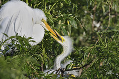Great Egret (jt893x) Tags: 150600mm ardeaalba bird d500 egret greategret jt893x nikon nikond500 sigma sigma150600mmf563dgoshsms wadingbird thesunshinegroup coth alittlebeauty coth5