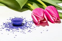 Neues aus der Waschküche. (Andreas Stamm) Tags: blume flower tulpe tulip tropfen droplets splash neuesausderwaschküche highspeed paint color farbe frühling spring canon funtime spielen playing