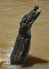 Adelaide River . Jumping crocodiles (Uhlenhorst) Tags: 2009 australia australien animals tiere travel reisen