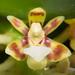 [Taiwan] Pomatocalpa undulatum subsp. acuminatum (Rolfe) Watthana, Harvard Pap. Bot. 11: 249 (2007)
