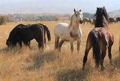 Amirosso Grosso (Amir Guso) Tags: gallopinghorses galoppierendepferde galpokonja horse pferde reiten wildpferde wild horses dzikie konie лошади коні 野生の馬 chevaux jesen herbst trava novembar divljina zdrijebe hengst stute wildnis wilderness désert пустыня fohlen жеребенок poulain foal stallion étalon pâturage pašnjak pasture weide nevada texsas pferdereiten ridehorses ridingwildhorses wildepferdereiten galop herd herde gras tier baum feld landschaft himmel