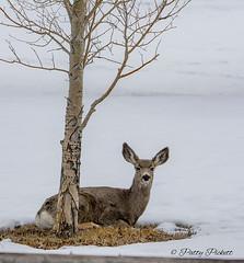 mule deer (Pattys-photos) Tags: mule deer swanvalley idaho pattypickett4748gmailcom pattypickett