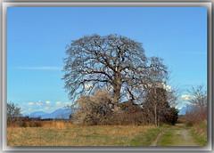 Magnificent Garry Oak (robinb44) Tags: bigleafmaple garryoak arbutus vancouverisland britishcolumbia bc nanaimo cedar latewinter march trees nanaimoriverestuary quercusgarryana oregonwhiteoak oregonoak