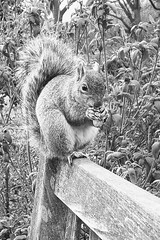 skwerl (lucymagoo_images) Tags: philadelphia philly spring squirrel peanut bench park urban bw monochrome samsung galaxy s7 mobile android fairmount