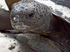 Today is Gopher Tortoise Day (Photos by the Swamper) Tags: reptiles tortoise gophertortoise