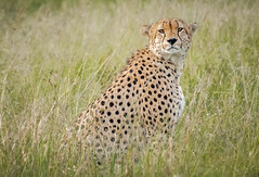 Watching Us (helenehoffman) Tags: africa carnivore 5musketeers kenya acinonyxjubatus conservationstatusvulnerable felidae mammal cheetah maasaimara feline musketeers nature bigcat maasaimaranationalreserve animal