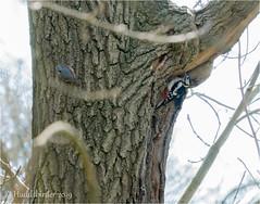 GS Woodpecker and Nuthatch (Huddsbirder) Tags: huddsbirder a6500 sony fe70300mm woodpecker nuthatch work