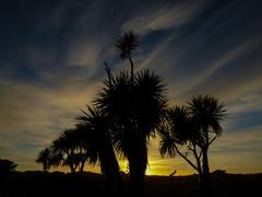 The Whispy Morning (Steve Taylor (Photography)) Tags: whispy cabbagetree black blue yellow newzealand nz southisland canterbury christchurch tree silhouette autumn dawn sunrise sun sunny sunshine southnewbrighton