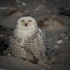 Second glance (Fred Roe) Tags: nikond7100 nikonafsnikkor200500mm156eed nature wildlife birds birding birdwatching birdwatcher raptor owl snowyowl buboscandiacus