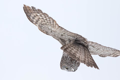 Great Gray Overhead (davezimmerman906) Tags: manitoba canada greatgray owl