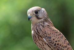 Turmfalke (madbesl) Tags: turmfalke falke vogel bird falcotinnunculus commonkestrel falcon kestrel natur nature olympus e520 zuiko70300 olympuse520 naturephotography naturaleza wildlife