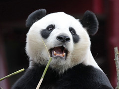 giant panda Ouwehands 094A0160 (j.a.kok) Tags: animal bear beer bamboebeer bamboobear panda giantpanda grotepanda china asia azie mammal zoogdier dier ouwehands