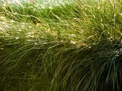 Hidden in the Long Grass (Steve Taylor (Photography)) Tags: longgrass green monocolor monocolour newzealand nz southisland canterbury christchurch grass dawn sunrise southnewbrighton