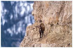 Risked my life in Yellowstone (Andrew (westpalmdoc1)) Tags: yellowstone nikon d850 big horn sheep 600mm bighornsheep