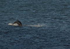 IMG_5430 (monika.carrie) Tags: monikacarrie wildlife scotland aberdeen dolphins dolphin cetacean mammals