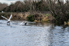 FIGHTING SWANS [ ROYAL CANAL BETWEEN BROOMBRIDGE AND ASHTOWN]-148326 (infomatique) Tags: birds swans fight wildlife nature water canal royalcanal canalwalk sony a7riii batis zeiss 135mmlens williammurphy infomatique fotonique ireland