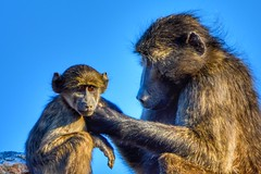 Oh ma, dont fuss so much! (SuzieAndJim) Tags: grooming africa suzieandjim nature child mother monkey baboon chacmababoon southafrica augrabies augrabiesfalls augrabiesfallsnationalpark
